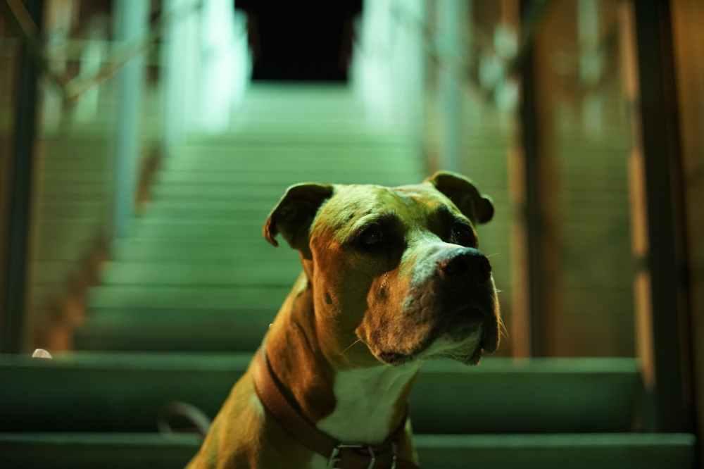 close up photo of brown pitbull