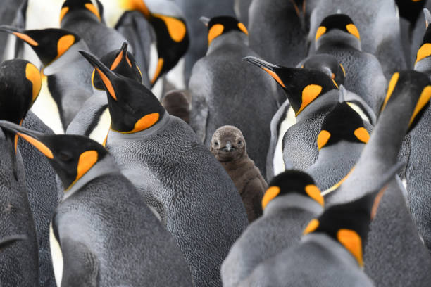 A bunch of penguins pictured, with one different looking penguin looking directly at the camera.